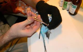 Как подстричь когти волнистому попугаю, корелла — в домашних условиях
