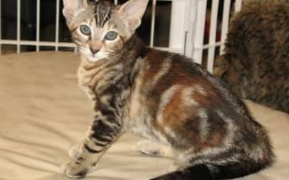 Серенгети: характеристика породы кошек, 30+ фото и цена