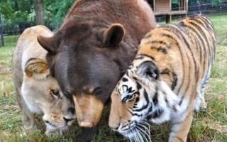 Тигр, медведь и лев дружат на протяжении 15 лет