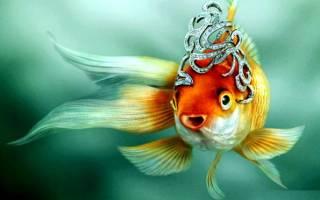 Золотые рыбки семейство и род!