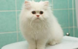 Как назвать белого котенка мальчика или девочку: лучшие идеи