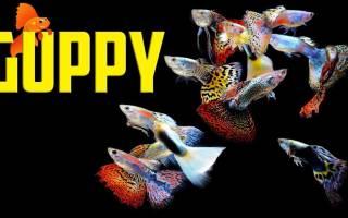 Гуппи рыбка: содержание, уход, совместимость и разведение, фото-видео обзор