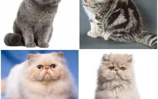 Коты с приплюснутой мордой: ТОП 6, какую породу выбрать?