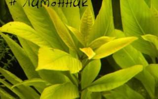 Гигрофила лимонник коримбоза: содержание, фото-видео обзор