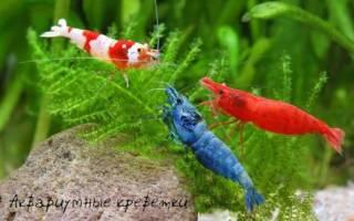 Популярные виды аквариумных креветок: фото, название и описание