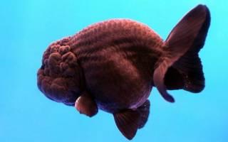 Ранчу — золотая рыбка: содержание, совместимость, разведение, фото-видео обзор