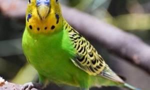 Попугай тяжело дышит — причины и лечение