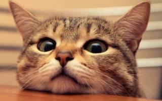Как отучить кошку лазить по столам: причины поведения, советы