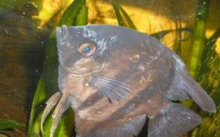 Костиоз, ихтиободоз рыб: лечение в аквариуме, фото-видео обзор