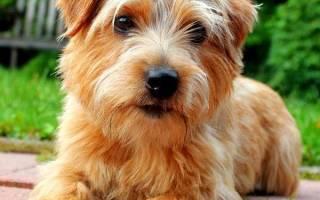 Норфолк терьер: описание породы — Моя собака