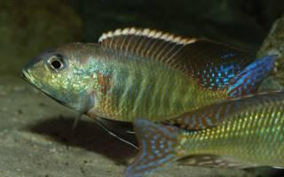 Лукания рыбка: содержание, фото-видео обзор