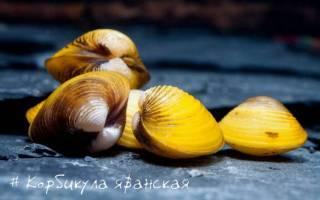 Корбикула яванская или шаровка желтая: содержание, фото-видео обзор