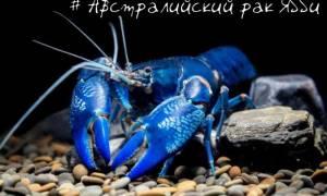Австралийский рак Ябби синий: содержание, уход, фото-видео обзор