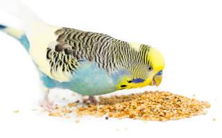 Сколько волнистый попугай может прожить без еды и воды
