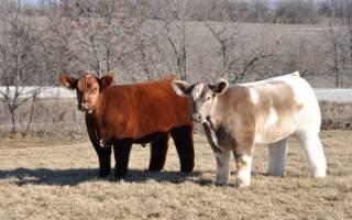 Плюшевая корова: не для еды, а для красоты, фото, история