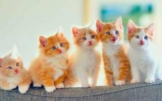 Породы кошек, которые нравятся мужчинам: описание, фото