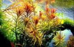 Лимнофила ароматика содержание в аквариуме, фото-видео обзор