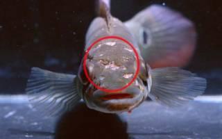 Ихтиоспоридиоз, ихтиофоноз рыб: лечение в аквариуме, фото-обзор