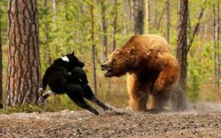 Карельская медвежья собака: описание породы — Моя собака