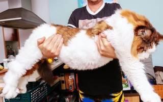 Познакомьтесь с гигантом породы мейн-кун – котом Самсоном