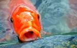 Можно ли есть аквариумных рыбок?