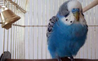 Что делать если попугай нахохлился и дрожит