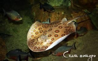 Пресноводный аквариумный скат моторо: содержание, фото-видео обзор