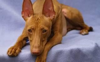 Описание породы собак Чирнеко дель Этна с отзывами владельцев