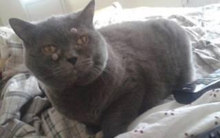 Шишки у кота на шее, животе, под кожей: причины и лечение