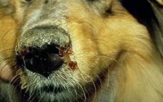 Симптомы чумки у собак и их лечение