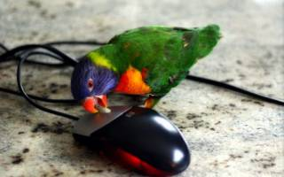 Какого попугая лучше завести в квартире — плюсы и минусы
