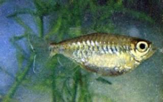 Парахлорфенокситол для лечения аквариумных рыб