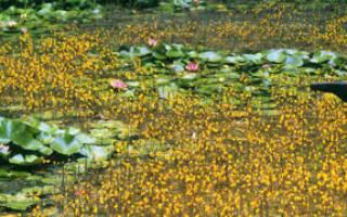 Пузырчатка обыкновенная растение: описание, содержание, фото-видео обзор