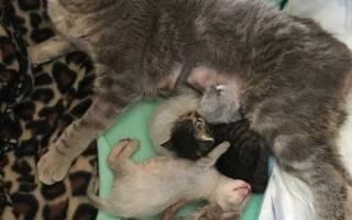 Спасение беременной кошки: преодоление болезни ради малышей