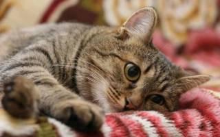Европейская короткошерстная кошка: описание породы, 15 фото