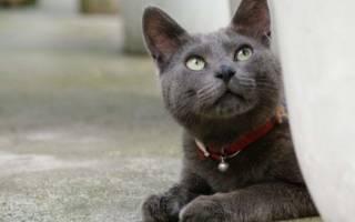 Корат: 20+ фото, описание породы кошек, характепа, цена