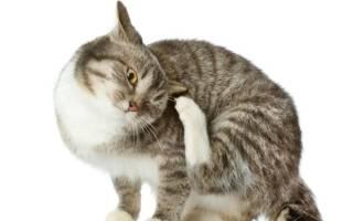Почему кошка постоянно чешется и лижется, а блох нет, что делать?