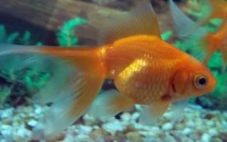 Как определить пол золотой рыбки: самец или самка