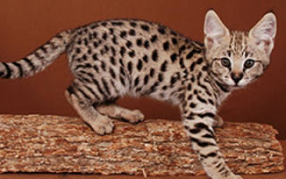 Кошка Саванна: домашний уход за породой, цена, 18 фото