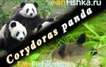 Коридорас сомик панда: содержание, совместимость, размножение, фото-видео обзор