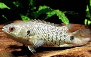 Анабас — рыба ползун