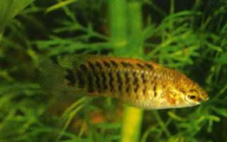 Аквариумные рыбки Юго-восточной Азии