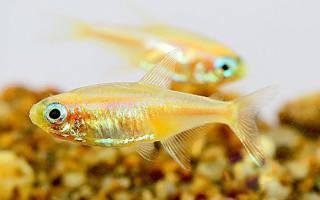 Неон золотой рыбка: содержание, совместимость, фото обзор