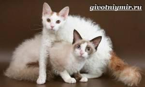 Лаперм: 15+ фото, описание породы кошек, цена