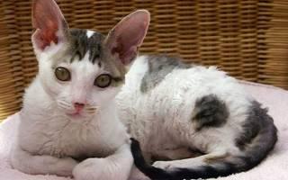 Корниш рекс: 25+ фото, описание породы кошек, цена котенка