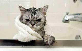 Как и когда купать котенка, как часто, средства, основные правила