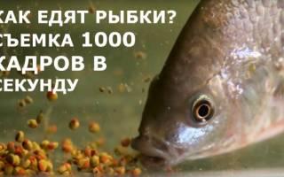 Как едят рыбки, замедленная съемка 1000 кадров секунду!