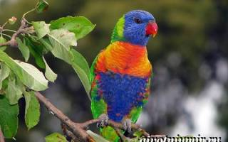 Попугаи лори: австралийская птица с кисточкой на языке