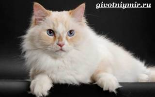 Порода кошек рагамаффин: 15 фото, стандарт, особенности ухода