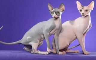 Сфинкс: 50+ фото видов, описание породы кошек, цена